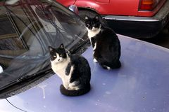 Two black and white similar cats sitting on a car.  stock photography
