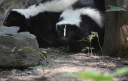 Pair of Cuddling Skunks in a Log. Two black and white skunks emerging from a hollow log Stock Photography