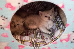 Two black and white small kittens laying together in the cat house on the plaid pillow. Two black and white  kitten laying together in the cat house. two cute Stock Images