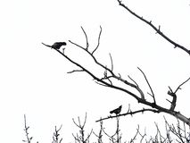 Two black winged crows sit on bare branches of trees on a white background. Stock Photography