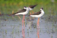 Two black winged stilt bird. Are standing in water of pond resting. beautiful and natural view. photo click at banswara, rajasthan, India Stock Photos