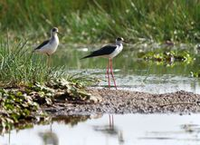 Two Black-winged Stilts in Asian Sanctuary royalty free stock photos