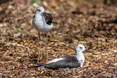 Two Black Winged Stilts Royalty Free Stock Photography