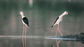Two Black-winged Stilts seperated with each other. Two Black-winged Stilt separated with each other. Breakup stock image