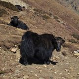Two black yaks Royalty Free Stock Photos