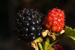 Two blackberries. Black and red blackberries. Unripe blackberries Stock Photography