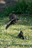Two blackbirds fighting Royalty Free Stock Images