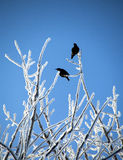Two Blackbirds perched on branches Royalty Free Stock Images