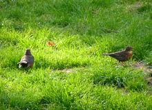 Two blackbirds standing in the grass Royalty Free Stock Images