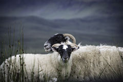 Two blackface sheep Stock Photography