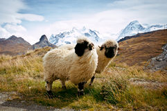 Two Blacknosed Swiss sheeps (Ovis aries), Swiss Alps Stock Image