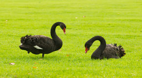 Two black swans on green grass. Two black swans on the bank of the River Torrens in Elder Park, Adelaide, South Australia Royalty Free Stock Image