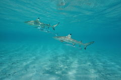 Two blacktip reef sharks with remoras underwater. Two blacktip reef sharks with remoras fish underwater in the lagoon of Tikehau, Tuamotu, south Pacific ocean stock photo