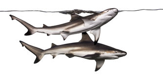 Two Blacktip reef sharks swimming at the surface Stock Images