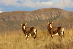 Two Blesbok. Two Belsbok looking back, Mountain Zebra National Park Stock Images
