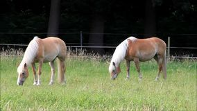 Two blond Haflinger horses grazing on meadow stock video