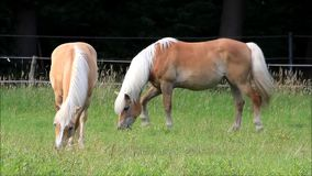 Two blond Haflinger horses grazing on meadow stock footage