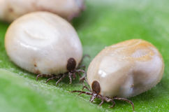 Two blood-filled mites crawl along the green leaf.  Royalty Free Stock Photography