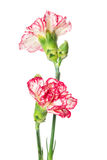 Two blooming carnations Royalty Free Stock Photography