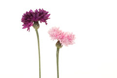 Two blooming cornflowers pink and purple. Isolated on a white background Royalty Free Stock Photo