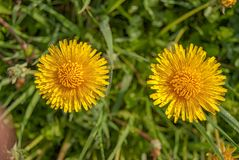 Two blooming dandelions close-up on a Sunny day royalty free stock photos