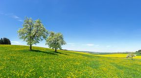 Two blooming fruit trees on a hilly flower meadow. In spring in rural landscape with blue sky royalty free stock photos