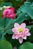 Two blooming lotus Royalty Free Stock Images