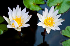Two blooming lotuses Royalty Free Stock Images