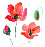 Red watercolor poppy. Two blooming red poppies and two buds. Very beautiful watercolor illustration Stock Images