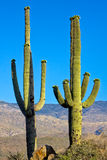 Two Blooming Saguaro Cactus Stock Photos