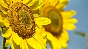 Two blooming sunflowers on the field with blur. Closeup stock video