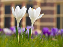 Two blooming white crocus Stock Image