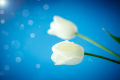 Two blooming white tulip Stock Photography