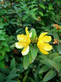Two blooming yellow flower on a green background of leaves stock image