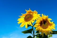 Two yellow sunflowers over blue sky, copy space Stock Image