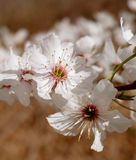 Two blossom flowers with delicate stamen Stock Photo