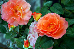 Two blossoming orange roses from the garden. Stock Photo