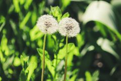 Two blowballs dandelions close-up royalty free stock image