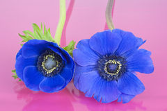 Two blue Anemones on a pink background Royalty Free Stock Images