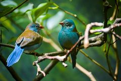 Free Two Blue Birds On The Branch. Royalty Free Stock Images - 160759119