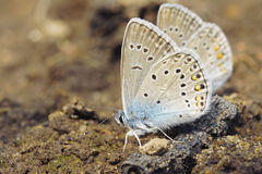 Two blue butterflies Stock Photos