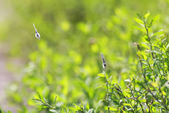 Two blue butterflies flying forward among green grass Stock Photo