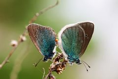 Two blue butterflies sitting on the grass. Macro stock photo