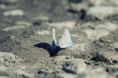 Two blue butterflies sitting on the ground Royalty Free Stock Image