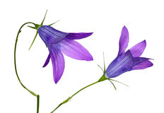 Two blue campanula flowers Stock Photo