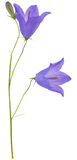 Two blue campanula flowers and bud Royalty Free Stock Photos
