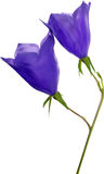 Two blue campanula flowers illustration Royalty Free Stock Photos
