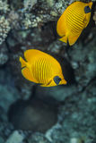 Two blue cheeked  butterflyfish. Pair of butterflyfish swiminng near the stone wall of Red Sea coral reef Stock Photography