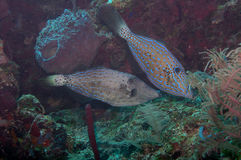 Two blue cow fish Royalty Free Stock Photos