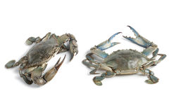 Two blue crabs. On white background Royalty Free Stock Images